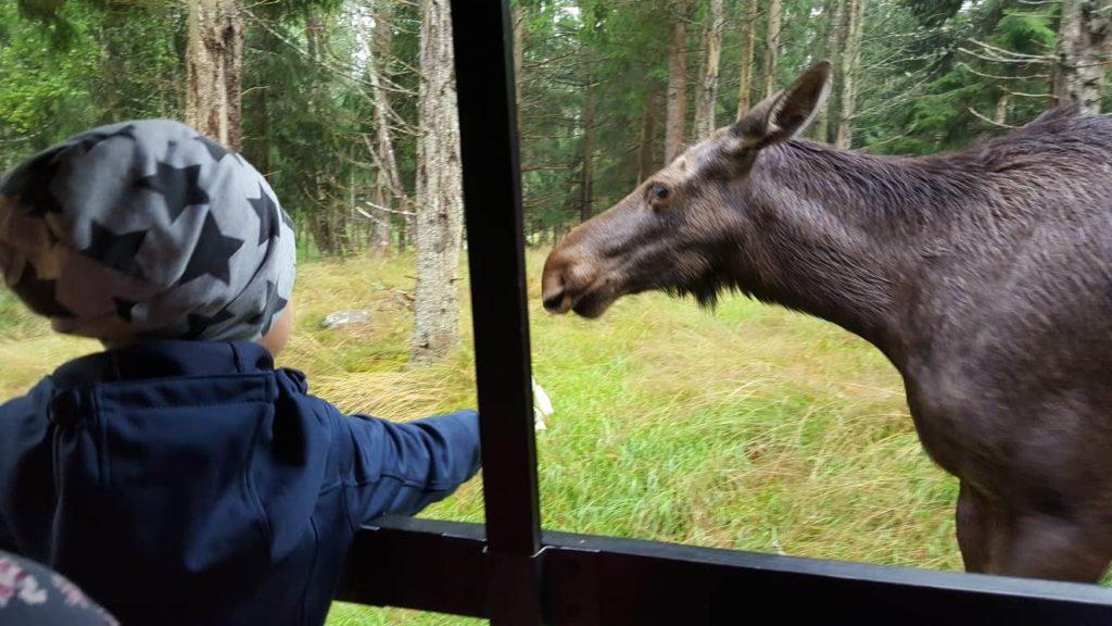 Schwiegermutter auf Weltreise in Schweden - Quentin gibt dem Elch ein Blatt