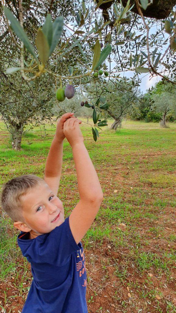 Quentin pflückt Oliven